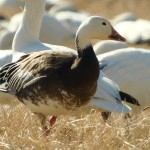 The Snow Goose phenomenon