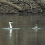 RBA: Western Grebe in Mechanicsburg, PA