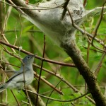 Nest building Gnatcatchers