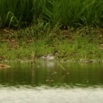 Berks Red-necked Phalarope