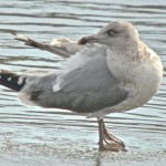 Interesting Herring Gull