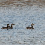 Red-necked Grebes and Black Scoters at BESP
