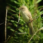 Interesting Willow Flycatcher