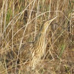 American Bittern