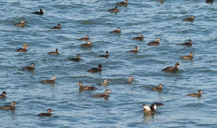 Surf Scoters, White-winged Scoters, and Common Eiders