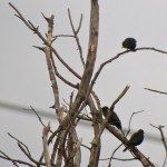 Rusty Blackbirds and N. Rough-winged Swallows