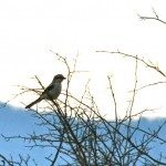 More shrikes at Bald Eagle