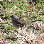 Golden-crowned Sparrow and Orange-crowned Warbler – Chesapeake Farms, MD