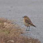 I saw the wheatear too!