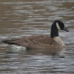 Lesser Canada Goose?