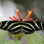 Zebra Longwing - Florida's State Butterfly; I have seen this species on other trips to Florida, but this trip was my first chance to actually photograph it.