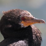 Cormorants of South Africa