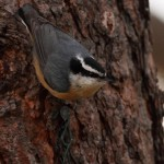 Red-breasted Nuthatch (photo by Anna Fasoli)