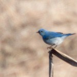 Mountain Bluebird (photo credit: Geoff Malosh)