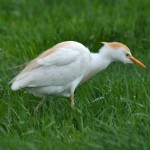 History of Cattle Egrets in Pennsylvania
