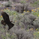 The Golden Eagle flying along the canyon walls. (Photo by Alex Lamoreaux)