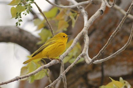 Yellow Warbler - male (Photo by Alex Lamoreaux)