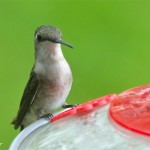 Backyard Ruby-throated Hummingbird