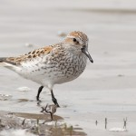 Western Sandpiper