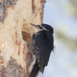 Library Black-backed Woodpeckers Update