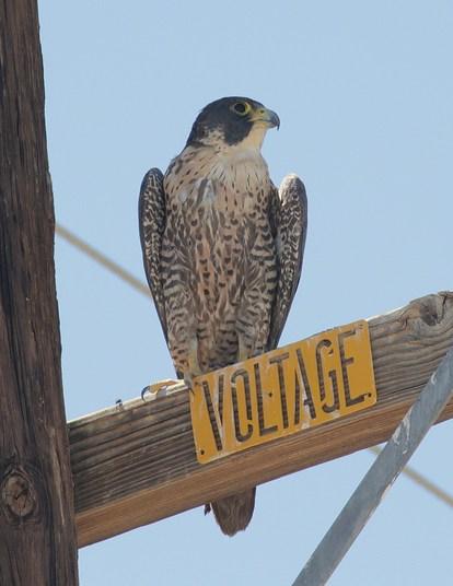 Falconidae: Falcons and Caracaras