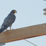 Peregrine Falcon - adult male; Note the bluish-gray back and tail as well as the dark &#039;helmet&#039;. This bird was photographed in Blythe, California in July.
