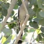 Yellow-billed Cuckoo - this sneaky cuckoo wants to be captured....