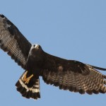 Zone-tailed Hawk – Photo Study