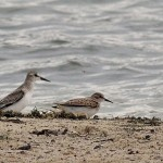Semipalmated Sandpiper (juvenile) on left and Least Sandpiper (juvenile) on right - BESP swimming beach