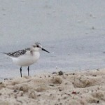 One of two Sanderlings at the BESP swimming beach