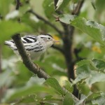Black-and-white Warbler - first fall male