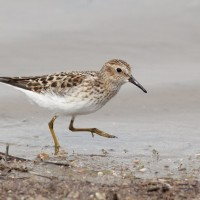 Twitchy Least Sandpiper settling in