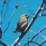 Winter Finch forecast 2011-12