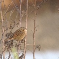 Lincoln&#8217;s Sparrow