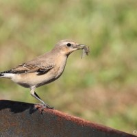 Northern Wheatear - Lebanon County, PA (Photo by Alex Lamoreaux)