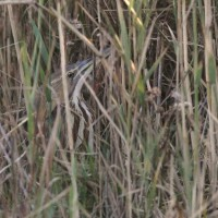 American Bittern (Photo by Alex Lamoreaux)