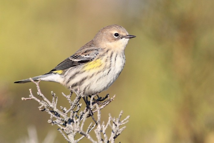 Photo Study: Yellow-rumped Warbler by Alex Lamoreaux ...