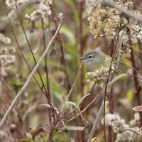 Orange-crowned Warbler at Old Crow Wetlands. (Photo by Alex Lamoreaux)