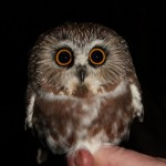Northern Saw-whet Owl Banding with Wayne Laubscher