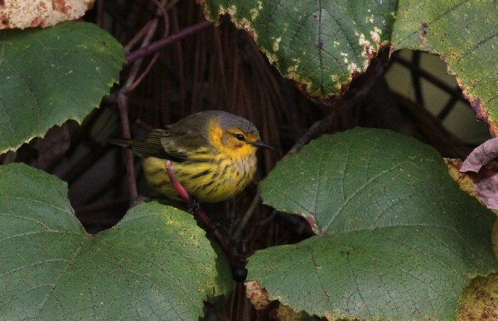 Cape May Warbler - adult male (Photo by Alex Lamoreaux)