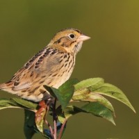 Henslow&#039;s Sparrow - adult at Circleville Farms