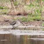 Long-billed Dowitcher and American Golden-Plover – Tadpole Rd