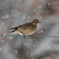 American Pipits often perch on and near the road during snowstorms