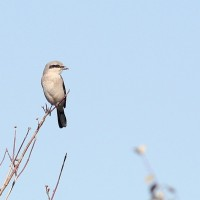 Northern Shrike - adult (Photo by Alex Lamoreaux)