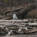 Are we on the verge of a Snowy Owl irruption?
