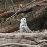 Snowy Owl at Merrill Creek Reservoir, NJ