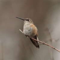Rufous Hummingbird - young male (Photo by Alex Lamoreaux)