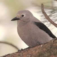 Clark&#039;s Nutcracker - this bird has nothing to do with the holidays, but for whatever reason makes me think of Christmas. (Photo by Alex Lamoreaux)