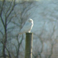 Cumberland Co Snowy Owl (Lou Carpenter)
