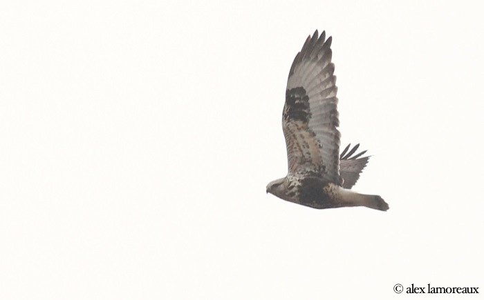 female light type Rough-legged Hawk